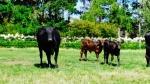 Our moo-cows and calving season